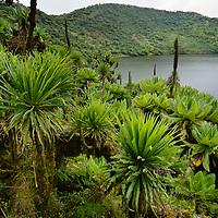 Giant Groundsel (Dendrosenecio eric-rosenii ssp. alticola) and Lobelia growing at edge of Bisoke Volcano crater lake. Ruhengeri, Rwanda.