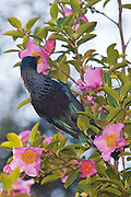 Tui sipping nectar from Camellia, New Zealand