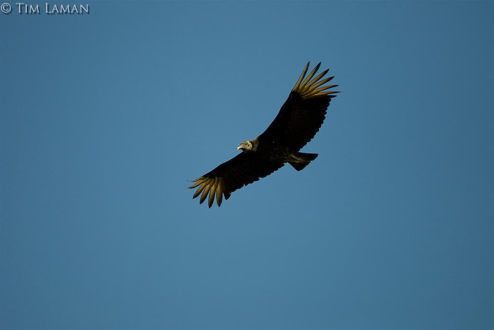 A black vulture (Coragyps atratus) soaring though the sky.
