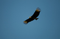 A black vulture (Coragyps atratus) soaring though the sky.