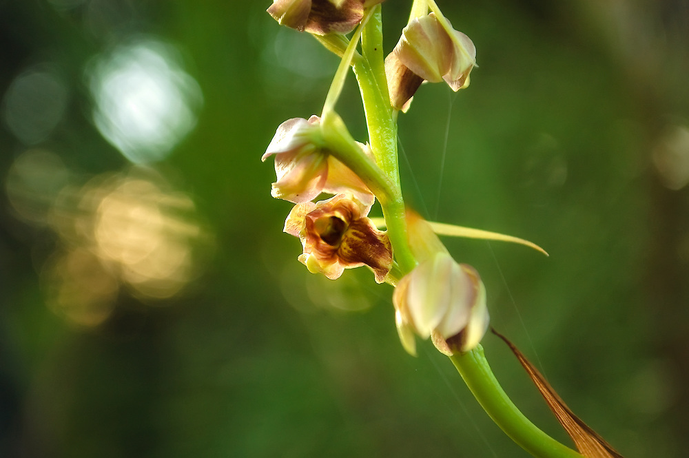 Close-up of the flower of the Pott's giant orchid.