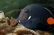 Achilles Surgeonfish (Acanthurus achilles) feeding on algae in an aquarium.