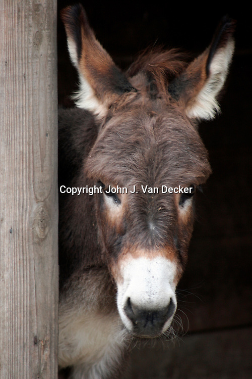 Sardinian Donkey standing in barn door