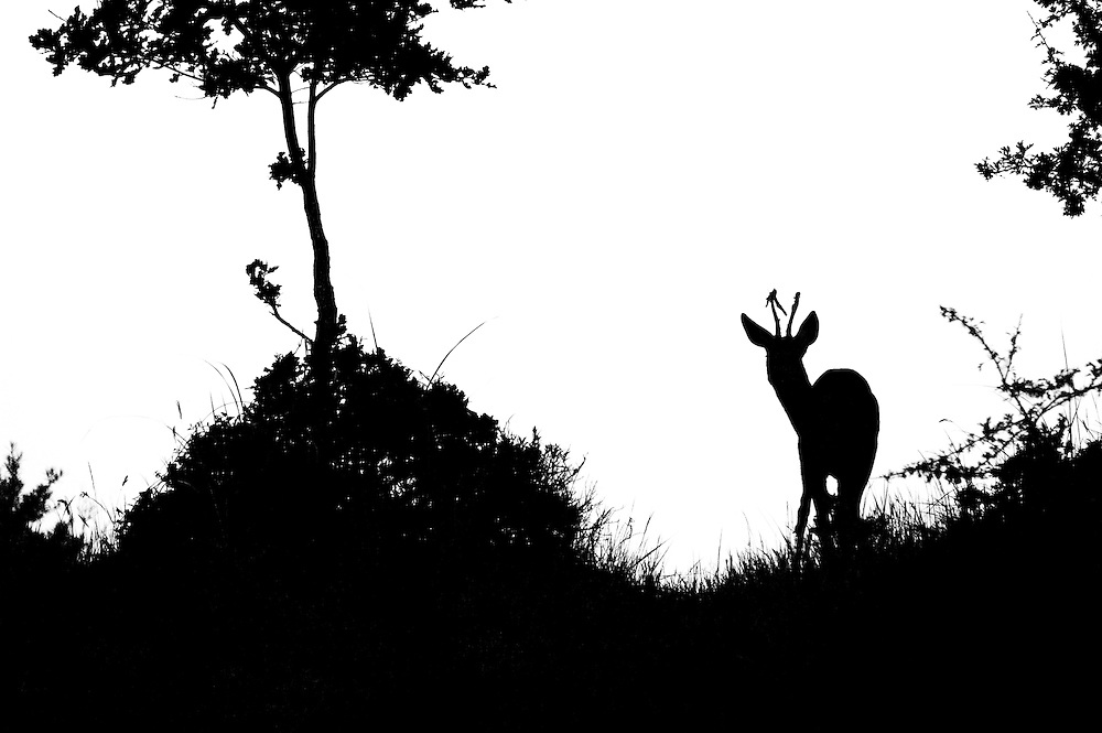 Roe Deer (Capreolus capreolus) standing on dune top. Photo edited for black and white.