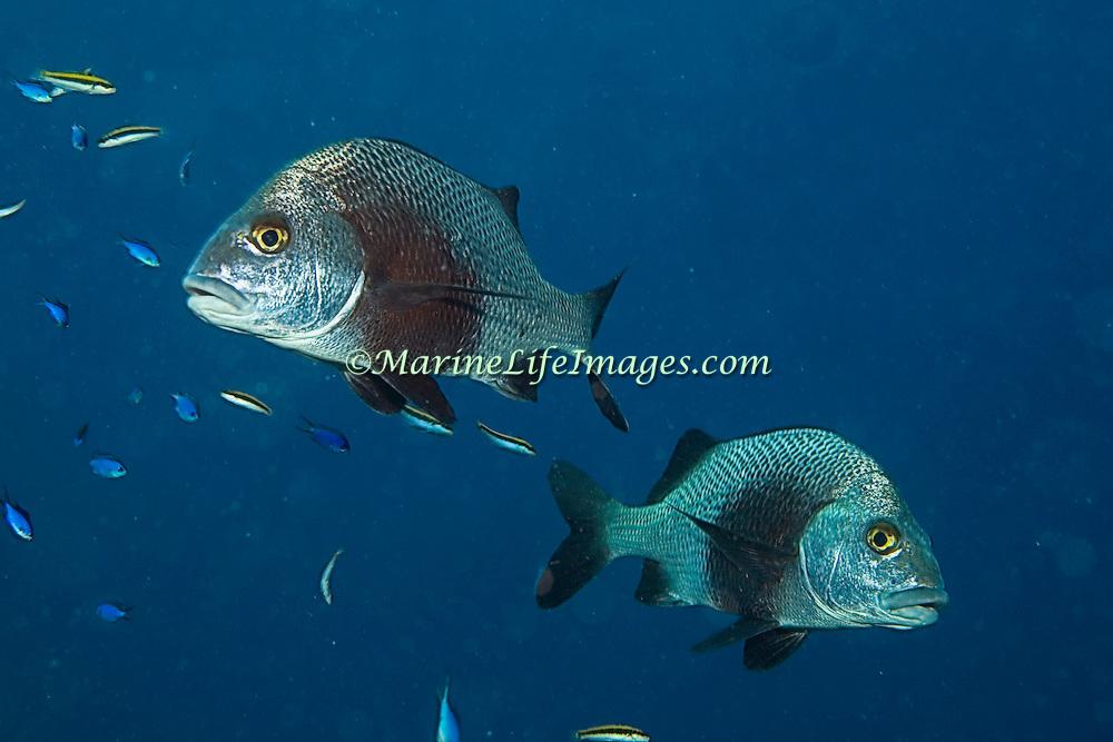 Black Margate inhabit reefs and rocky inshore areas in Tropical West Atlantic; picture taken Utila, Honduras.