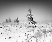 A crooked tree stands tall in a snow covered, foggy pasture just north of Cochrane, Alberta.