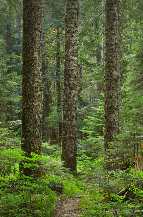 Old growth forest consisting of Silver Fir and Western Hemlock. Chilliwack Valley, North Cascades National Park