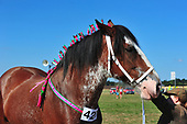 03 - 05th Aug 2018 - Essex Heavy Horse Show