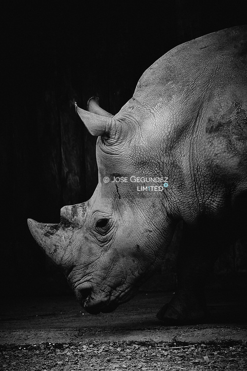 Portrait of Rhinoceros in black and white on black background.