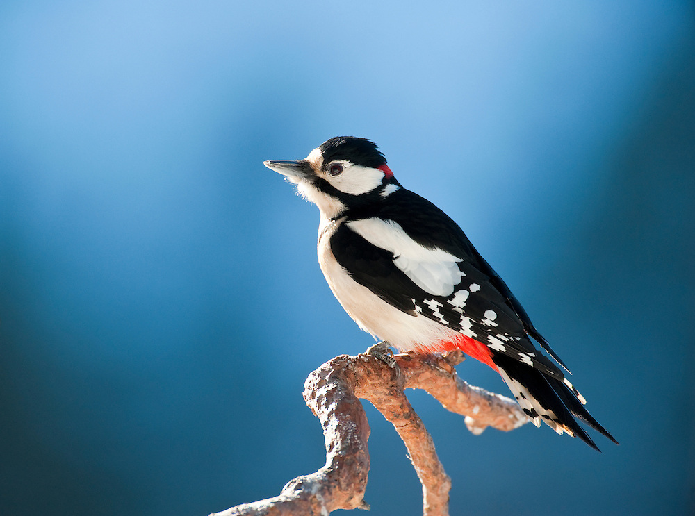 Great spotted woodpecker on Scots pine, Finland