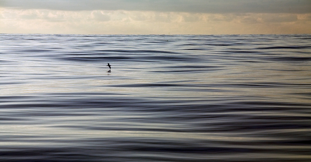 A lone bird skims across the flat calm dawn Atlantic Ocean as viewed from a sailing boat on a voyage across the ocean.