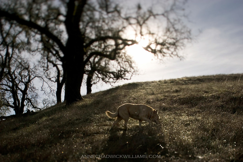 Ella, my dog, makes her way up a hill in northern California.