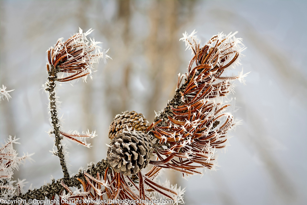 Red pinecones with winter frost.