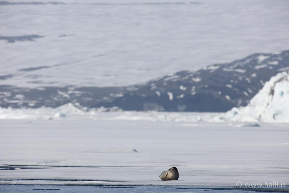 Seals at the lake Jokulsarlon, Iceland - Selir við Jökulsárlón