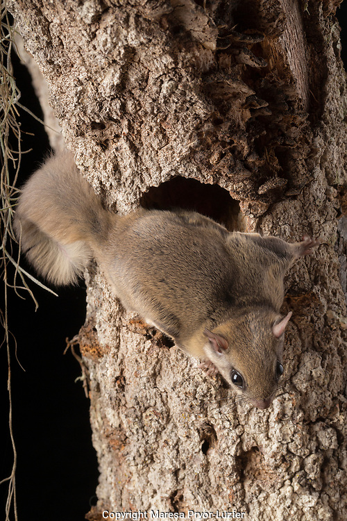 Southern flying squirrel, Glaucomys volans,controlled situation, Florida