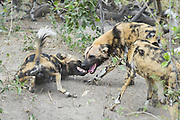 African Wild Dog<br /> Lycaon pictus<br /> Greeting behavior<br /> Northern Botswana, Africa<br /> *Endangered species