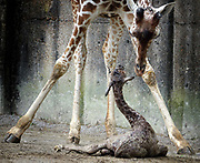 Giraffes are endangered, but the Memphis Zoo is doing their share to reproduce this beautiful creature. One of the Giraffes at the Memphis Zoo gave birth while on display Monday.
