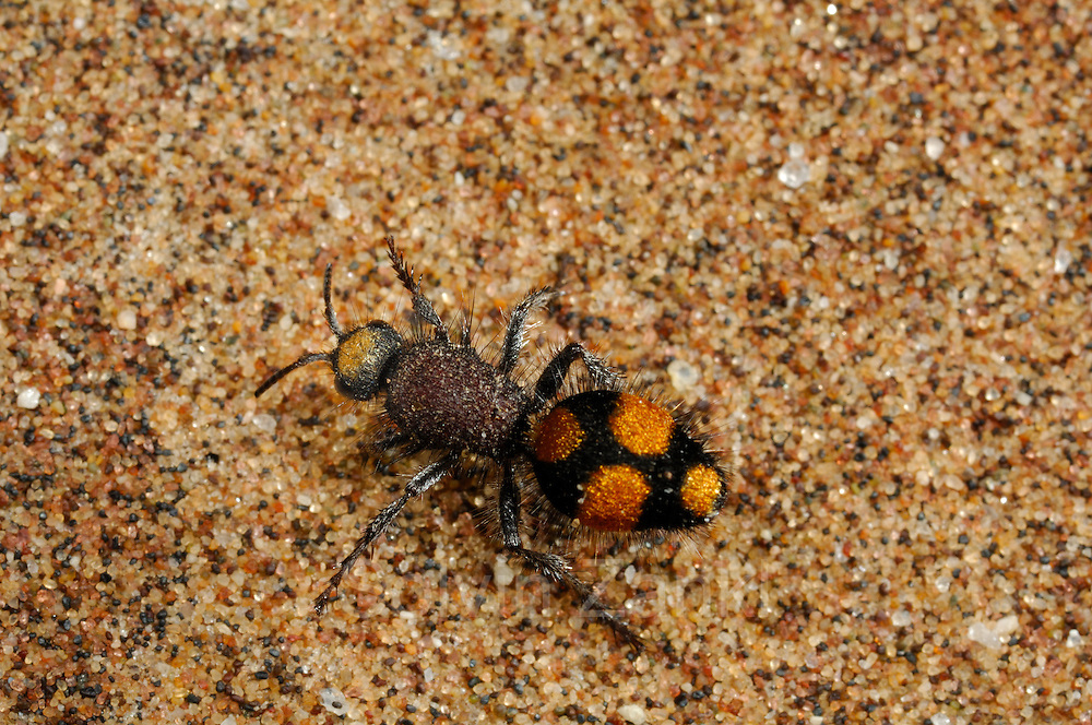 Flightless wasp or Velvet Ant Namib Desert sand dune; shot digital: 14,03inch x 9,317inch at 300 Pixel\inch