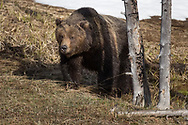 In late spring, this large male grizzly patrolled the meadows surrounding Obsidian Creek in search of a mate.  He picked up the scent of a nearby sow, but she quickly left the area as the boar approached.