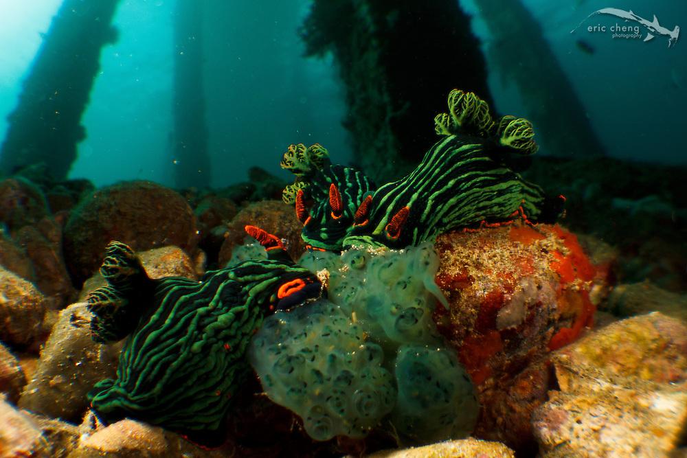 Three Nembrotha kubaryana nudibranchs feed on tunicates under a jetty in Ambon, Indonesia.