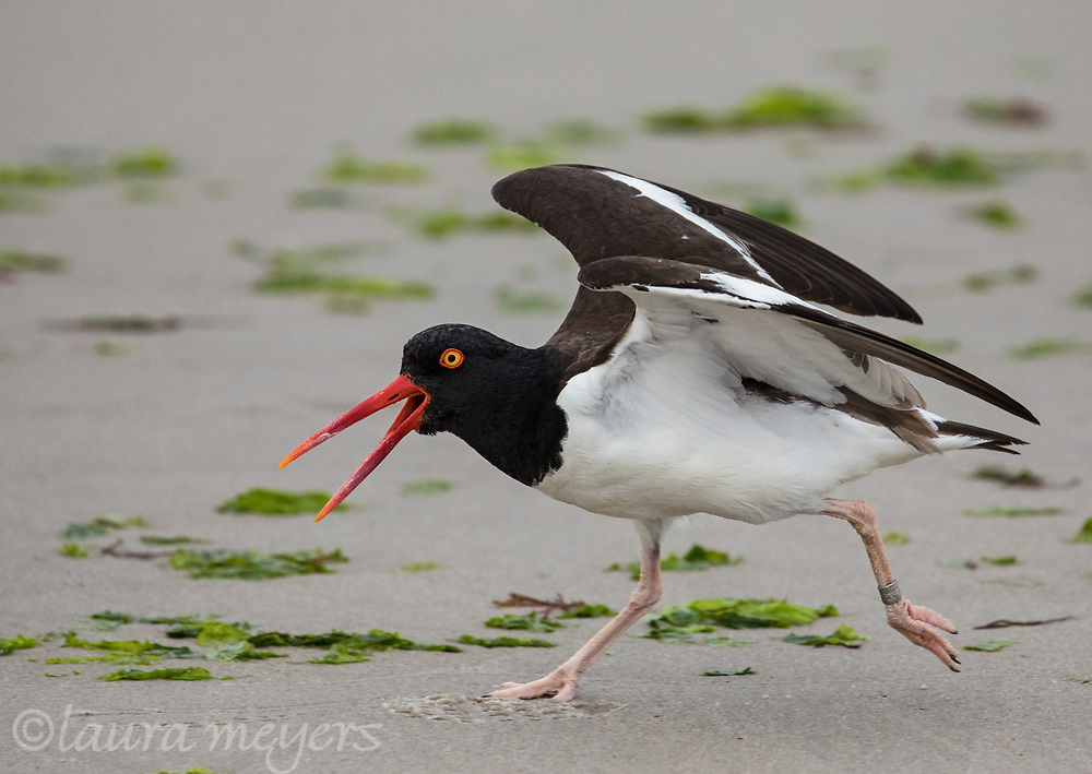 American Oyster Catcher Walking on sand at Nickerson Beach during breeding season.