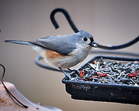 Tufted Titmouse at the Bird Feeder. Image taken with a Nikon D5 camera and 600 mm f/4 VR lens (ISO 1100, 600 mm, f/4, 1/1250 sec).
