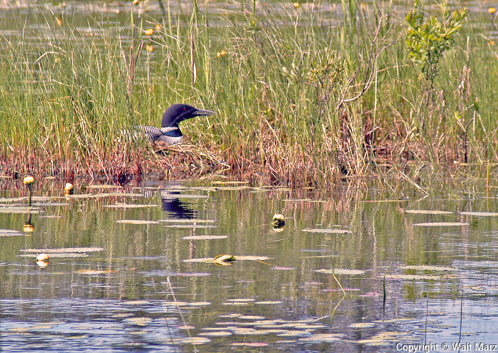 Nesting Loon along thorofare into Lost Pond