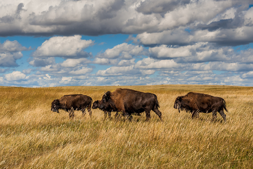 A group of bison walk across the plains of Roosevelt National Park in North Dakota.