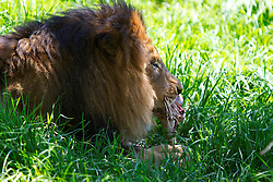 A male African Lion (Panthera leo) eats meat from a bone in the grass, San Diego Zoo Safari Park, Escondido, California, United States of America