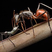 A Giant Forest Ant (Camponotus gigas) receives a droplet of honeydew from the abdomen of a juvenile leaf-footed bug (Notobitus sp.). The bugs, which obtain more sugar than they need from the plant juices they feed on, are fiercely protected from predators by the ants. This mutualistic partnership thus benefits both species. Photographed in Danum Valley Conservation Area, Sabah.