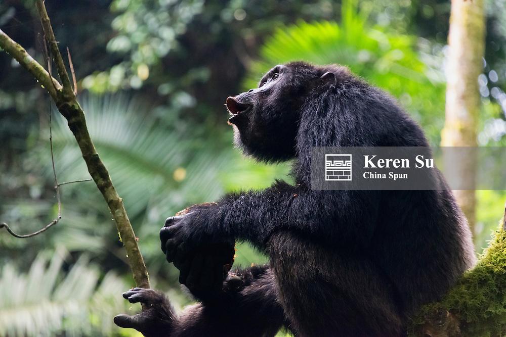 Chimapanzee eating wild jackfruit, Kibale National Park, Uganda