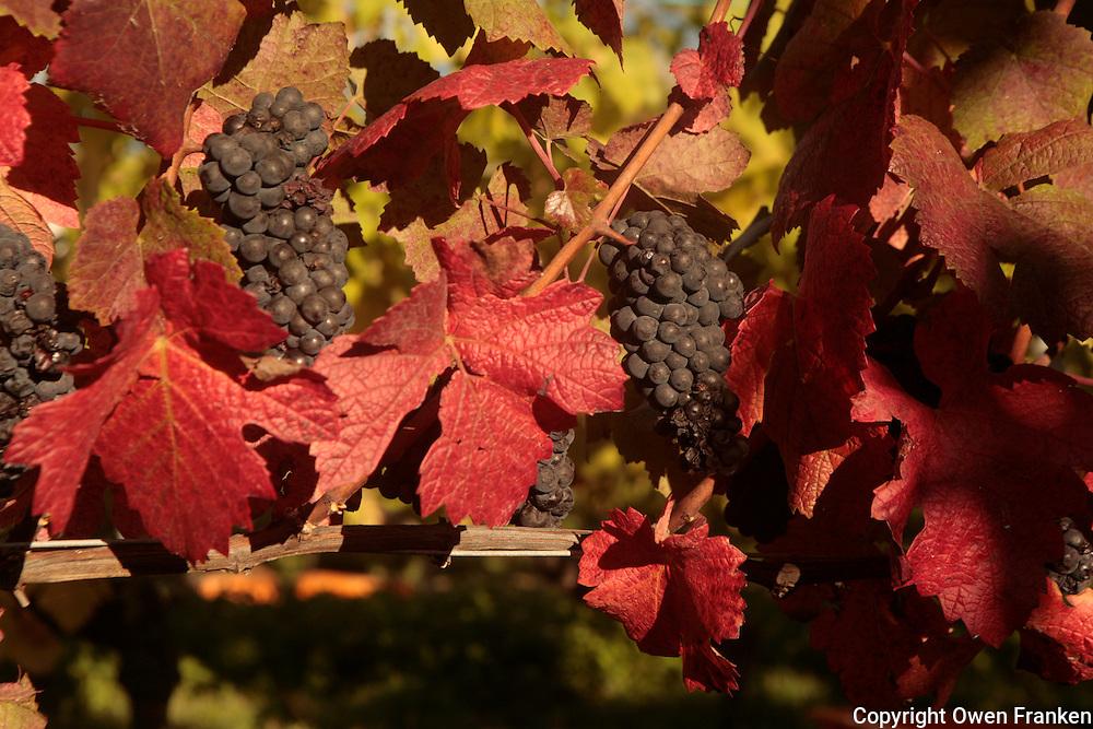 wine harvest in Switzerland