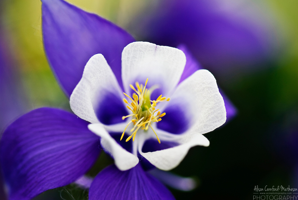 Aquilegia - common name 'columbine or Granny's bonnet.