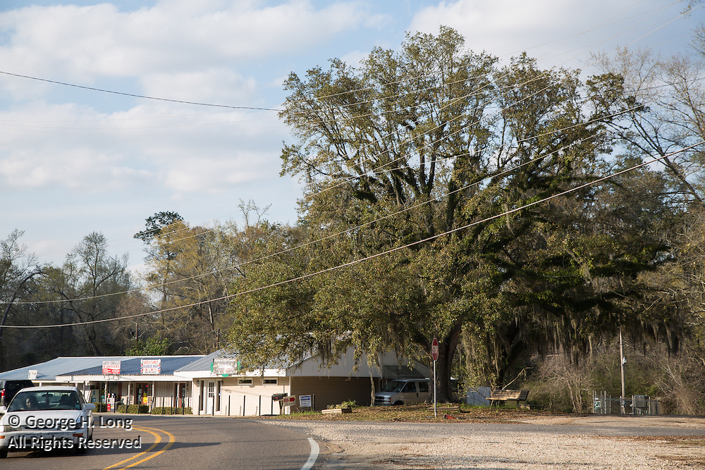 oak tree and power lines along Highway 36 in Abita Springs, Louisiana