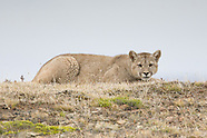 Patagonian Mountain Lions / Pumas de Patagonia