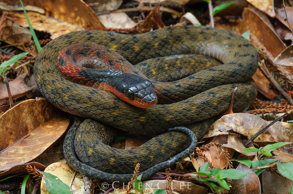 The Fire-lipped Keelback (Rhabdophis murudensis) is a rare snake known only from the higher mountains of northern Borneo.  When threatened, it has the remarkable ability to exude a white milky venom from the back of its neck as a defensive mechanism.