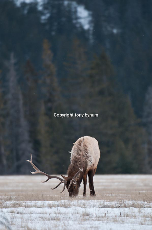 bull elk in open grass timber background feeding winter habitat
