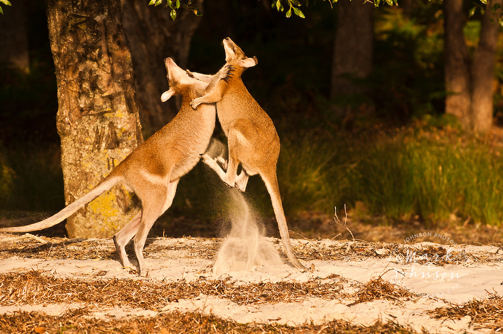 2 Agile Wallabies (Macropus agilis) play fighting, South Stradbroke Island, Queensland, Australia