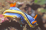 Nudibranch.(Chromodoris annae).Lembeh Straits, Indonesia