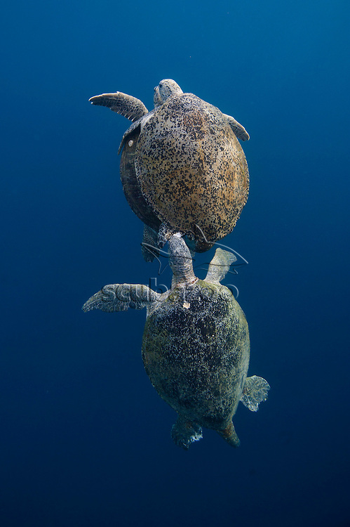 Mating green turtles, Chelonia mydas, being chased by rival males, off Sipadan Island, Borneo, East Malaysia.