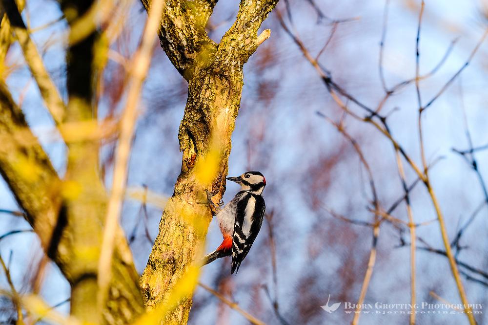 Norwa, Stavanger. Great Spotted Woodpecker.