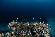 Table top coral (Acropora sp.) with hiding Two Stripe Damselfish (Dascyllus reticulatus) in it, Raja Ampat, West Papua, Indonesia, Pacific Ocean | Steinkoralle (Acropora sp.)  mit sich darin versteckenden Netz-Preußenfischen (Dascyllus reticulatus) Raja Ampat, West Papua, Indonesien, Pazifischer Ozean