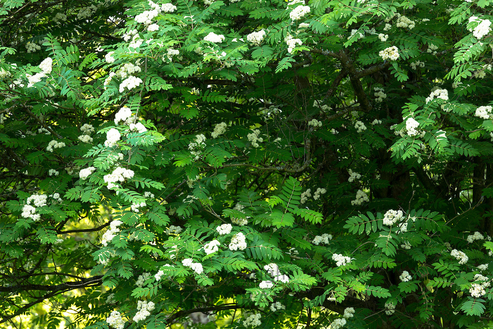 Rowan Tree, Mountain Ash Sorbus aucuparia, in bloom in The Cotswolds, UK