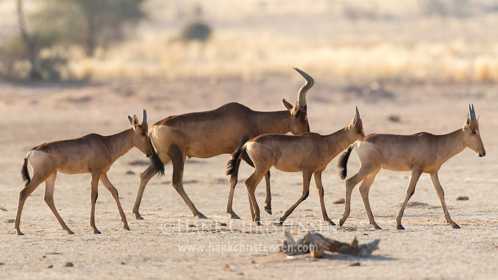 A family of red hartebeest move across the desert landscape of Damaraland, Twyfelfontein, Namibia.