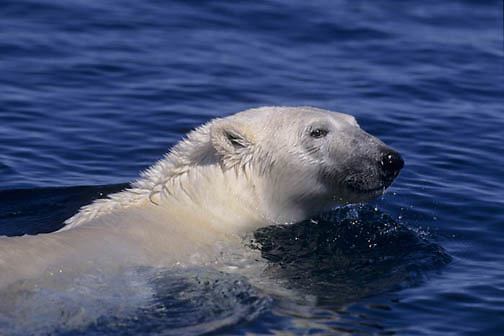 "Polar Bear, (Ursus maritimus) Polar Bear swimming in Wager Bay, Northwest Territories, (Inuit name """"""""Nunavut""""""""), Canada."