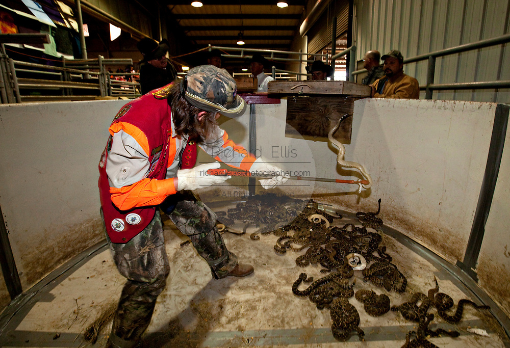 A Jaycee volunteer snake handler empties a box filled with western diamondback rattlesnakes brought in by hunters during the 51st Annual Sweetwater Texas Rattlesnake Round-Up March 14, 2009 in Sweetwater, Texas. During the three-day event approximately 240,000 pounds of rattlesnake will be collected, milked and served to support charity.