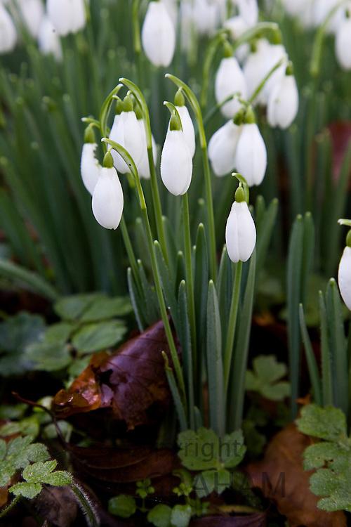 Snowdrops, Oxfordshire, England, United Kingdom