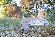 Fallow Deer fawn (Dama dama) lies on the ground