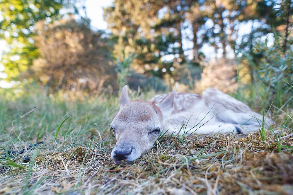 Fallow Deer fawn (Dama dama) lies on the ground