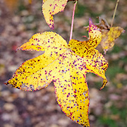 What a beautiful leaf.  The bright yellow surface with red and brown spots and a few holes as well.  The mottled background shows if off so well.